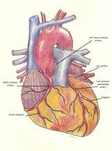 Anterior view of coronary arteries