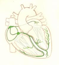 Cardiac Conduction System Illustration, Transparent with Green Highlights